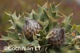 Banksia-Dryandra arborea Yilgarn Dryandra LLO-422 ©Jiri Lochman - Lochman LT
