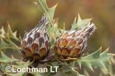 Banksia-Dryandra arborea Yilgarn Dryandra LLO-424 ©Jiri Lochman - Lochman LT