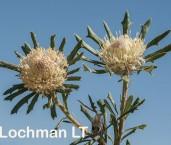 Banksia-Dryandra carlinoides Pink Dryandra LLO-477 ©Jiri Lochman - Lochman LT