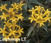 Lambertia ilicifolia - Little Honeysuckle FTY-939 ©Marie Lochman - Lochman LT