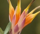 Lambertia inermis Chittick AAD-016 ©Marie Lochman - Lochman LT