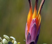 Lambertia inermis Chittick AFE-028 ©Marie Lochman - Lochman LT