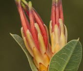 Lambertia multiflora var. multiflora AFE-038 ©Marie Lochman - Lochman LT