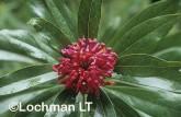 Telopea oreades Gippsland Waratah LMY-326 ©Jiri Lochman - Lochman LT