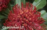 Telopea oreades Gippsland Waratah XDY-360 ©Jiri Lochman - Lochman LT