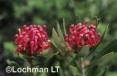 Telopea oreades Gippsland Waratah ZKY-310 ©Jiri Lochman - Lochman LT
