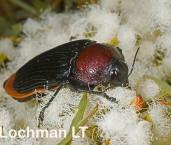 Temognatha parvicollis subsp. andromeda - Jewel Beetle LLG-515 ©Jiri Lochman - Lochman LT