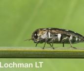 Diphucrania stigmata - Jewel Beetle LLO-973 ©Jiri Lochman - Lochman LT