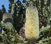 Banksia grandis Bull Banksia AFE-309 ©Marie Lochman - Lochman LT
