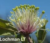 Banksia ilicifolia Holly-leaved Banksia AFE-298 ©Marie Lochman - Lochman LT