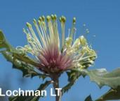 Banksia ilicifolia Holly-leaved Banksia AFE-300 ©Marie Lochman - Lochman LT