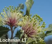 Banksia ilicifolia Holly-leaved Banksia AFE-301 ©Marie Lochman - Lochman LT