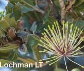 Banksia ilicifolia Holly-leaved Banksia AFE-302 ©Marie Lochman - Lochman LT