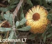 Banksia media Southern Plains Banksia LLP-157 ©Jiri Lochman - Lochman LT