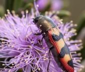 Castiarina aeraticollis - Jewel Beetle LLO-929 ©Jiri Lochman - Lochman LT