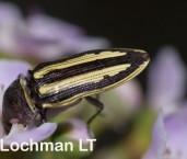 Castiarina charientessa - Jewel Beetle LLE-992 ©Jiri Lochman - Lochman LT