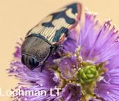 Castiarina macmillani - Jewel Beetle AFE-205 ©Marie Lochman - Lochman LT