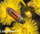 Castiarina mimesis - Jewel Beetle AFE-199 ©Marie Lochman - Lochman LT