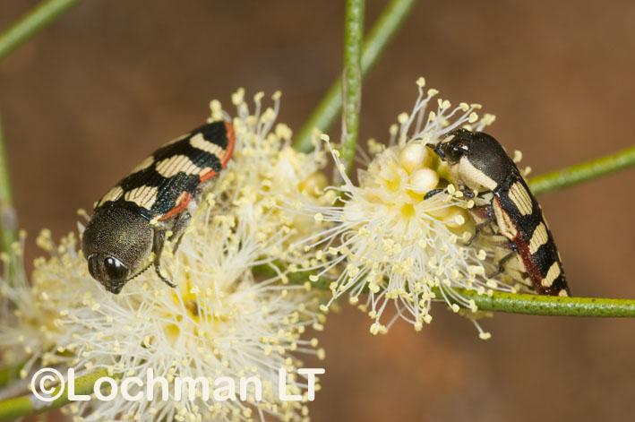 Jewel Beetles – Biodiversity – Castiarina macmillani & cincta