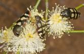 Jewel Beetles -Castiarina macmillani & C. cincta -Jewel Beetle LLJ-143 ©Jiri Lochman -Lochman LT