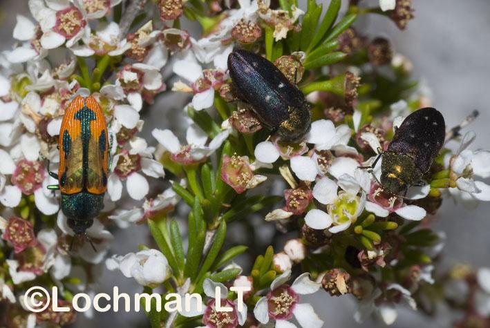 Jewel Beetles – Biodiversity – Castiarina sanguinolenta & Diphucrania fulgidicolis