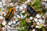 Jewel Beetles -Castiarina sanguinolenta & Diphucrania fulgidicollis -LLF-124 ©Jiri Lochman -Lochman LT