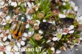 Jewel Beetles -Castiarina sanguinolenta & Diphucrania fulgidicollis -LLF-126 ©Jiri Lochman -Lochman LT
