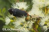 Jewel Beetles -Temognatha parvicollis & T. chevrolati - LLF-170 ©Jiri Lochman - Lochman LT