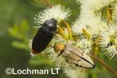 Jewel Beetles -Temognatha parvicollis & T. chevrolati - LLF-171 ©Jiri Lochman - Lochman LT