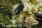 Jewel Beetles -Temognatha parvicollis & T. chevrolati - LLF-172 ©Jiri Lochman - Lochman LT