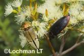 Jewel Beetles -Temognatha parvicollis & T. chevrolati - LLF-174 ©Jiri Lochman - Lochman LT