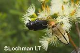 Jewel Beetles -Temognatha parvicollis & T. chevrolati - LLF-176 ©Jiri Lochman - Lochman LT