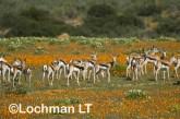 Antidorcas marsupialis-Springbok LLJ-652 ©Jiri Lochman - Lochman LT