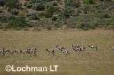 Antidorcas marsupialis-Springbok LLP-226 ©Jiri Lochman - Lochman LT