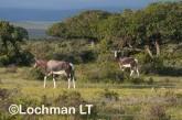 Damaliscus dorcas - Bontebok AFE-428 ©Marie Lochman - Lochman LT