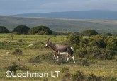 Damaliscus dorcas - Bontebok AFE-429 ©Marie Lochman - Lochman LT