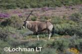 Oryx gazella - Gemsbok LLP-242 ©Jiri Lochman - Lochman LT