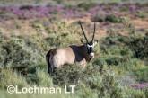 Oryx gazella - Gemsbok LLP-243 ©Jiri Lochman - Lochman LT