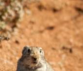 Parotomys brantsii Bront's Whistling Rat-SA  LLM-994 ©Jiri Lochman- Lochman LT