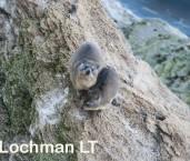 Procavia capenisi - Rock Hyrax LLP-244 ©Jiri Lochman - Lochman LT