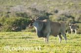 Tragelaphus oryx - Common Eland LLP-261 ©Jiri Lochman - Lochman LT