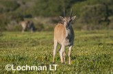 Tragelaphus oryx - Common Eland LLP-262 ©Jiri Lochman - Lochman LT