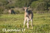 Tragelaphus oryx - Common Eland LLP-263 ©Jiri Lochman - Lochman LT