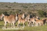 Tragelaphus oryx - Common Eland LLP-264 ©Jiri Lochman - Lochman LT