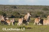 Tragelaphus oryx - Common Eland LLP-265 ©Jiri Lochman - Lochman LT