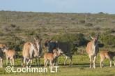 Tragelaphus oryx - Common Eland LLP-266 ©Jiri Lochman - Lochman LT