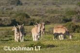 Tragelaphus oryx - Common Eland LLP-267 ©Jiri Lochman - Lochman LT