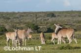 Tragelaphus oryx - Common Eland LLP-268 ©Jiri Lochman - Lochman LT