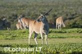 Tragelaphus oryx - Common Eland LLP-269 ©Jiri Lochman - Lochman LT