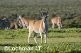 Tragelaphus oryx - Common Eland LLP-270 ©Jiri Lochman - Lochman LT